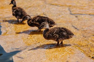 selective focus of three ducklings s