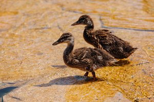 selective focus of two ducklings wal
