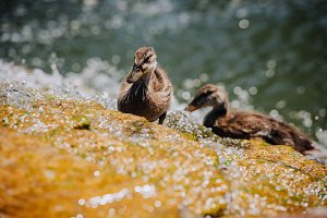 selective focus of two ducklings sta