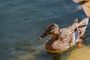 close up view of duckling swimming i