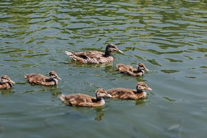 close up view of flock of ducklings
