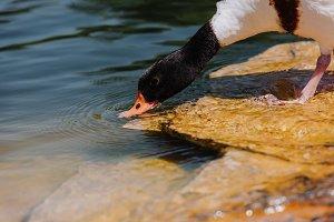 selective focus of duck drinking wat