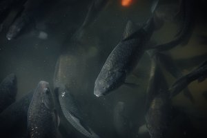 close up view of flock of black carp