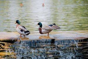 selective focus of two ducks standin