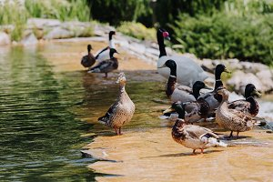 selective focus of flock of ducks an