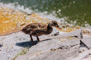 selective focus of duckling standing