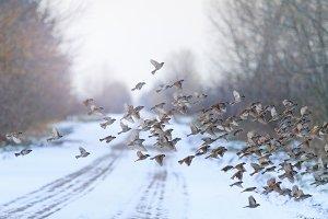 flock of birds flies the winter road