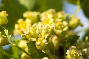 green blackcurrant flowers