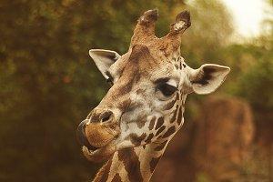 Giraffe pose
