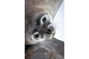 Baby seal close to mom
