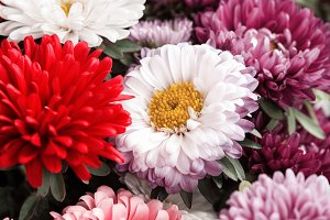 Bunch of colorful asters, autumn flo