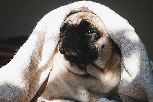 Cute, sweet puppy on a blanket on