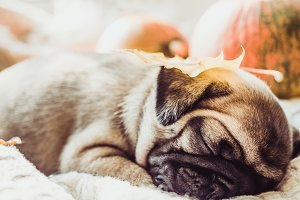 Cute, sweet puppy, sleeping on a