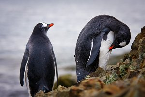 penguins on the rocks