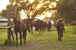 Grazing herd of horses in meadow