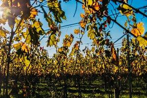 French Vineyard in Autumn