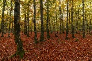 Urbasa beech forest in autumn in Nav