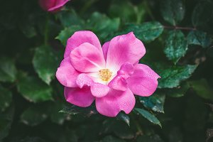 Little rose covered by dew drops