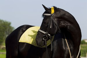 The horse is black with yellow saddl