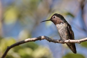 Anna's Hummingbird Perched on a Tree