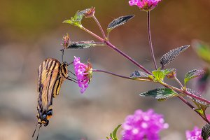 Swallowtail Butterfly on the Hunt
