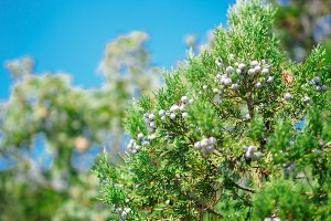 Juniper tree with cones on the