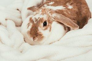 lovely domestic bunny lying on blank