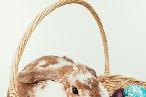domestic rabbit lying in straw baske