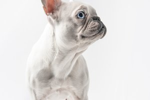 adorable purebred french bulldog loo
