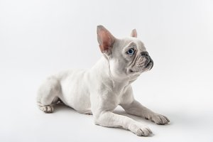 cute french bulldog lying and lookin