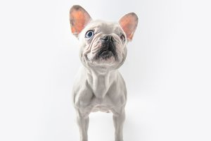 funny french bulldog dog standing is