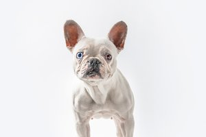 full length view of cute french bull