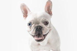funny french bulldog showing tongue