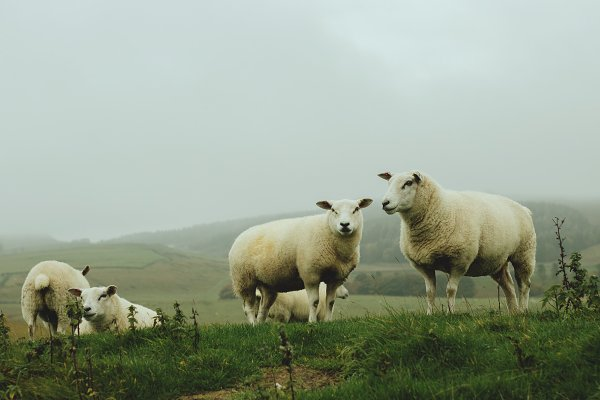 Animal Stock Photos: René Jordaan Photography - Farmland Sheep