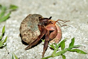 Brown Hermit Crab