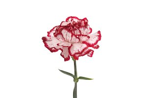 Pink carnation flower on white