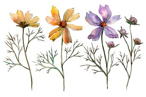 Cosmos flower PNG watercolor set