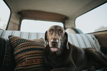 Brown Dog Chillin in VW bus by  in Animals