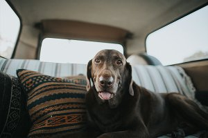 Brown Dog Chillin in VW bus