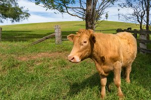 Beautiful red cow in rural