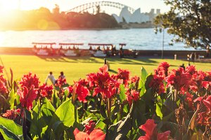 Bright red canna lily flowers with