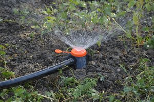 Watering the beds of tomato