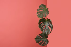 beautiful monstera leaves sticking o