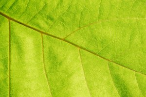 Close up view of green leaf veins