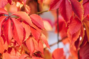 close up of beautiful red autumnal l