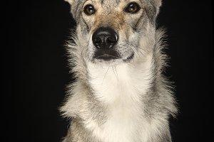 Portrait of a female tamaskan dog