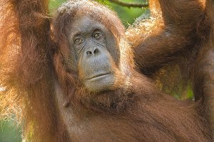 Portrait of a female orang-utan