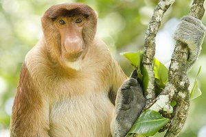 Portrait of a proboscis monkey seen