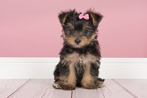 Cute sitting yorkshire terrier