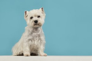 Cute sitting Westie on blue